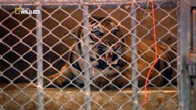 Преступления против Природы: Тигры на органы / Crimes against Nature: Tiger Traffic (2010) HDTV
