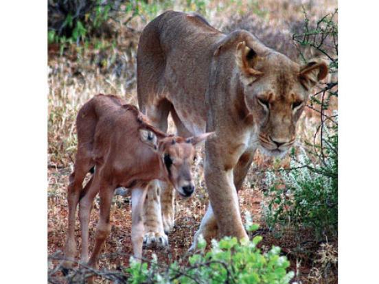сердце львицы скачать торрент - фото 3