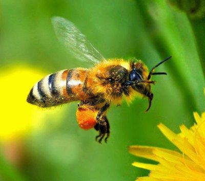 Лечение пчёлоужалением