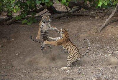 Танец-бой: невероятные фотографии схватки индийских тигров