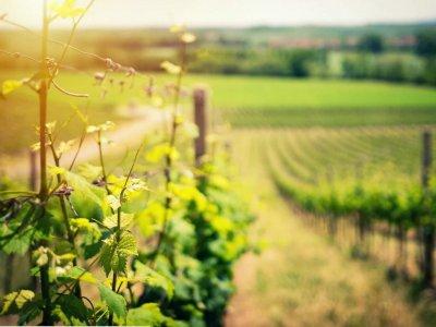 Секреты выращивания винограда