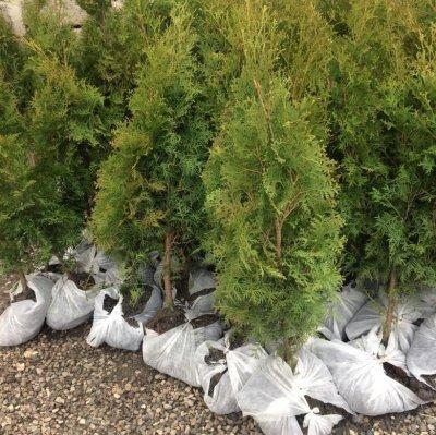 Секреты посадки хвойных растений от МегаСад