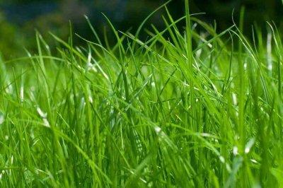 Какие многолетние газонные травы подойдут для сада