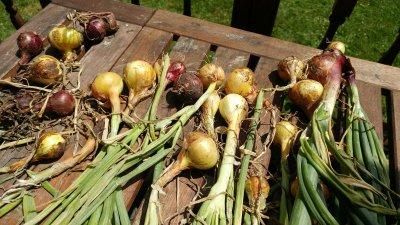 Как вырастить лук-севок