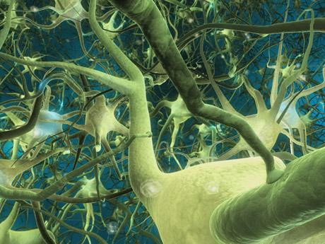 Формирование новых нервных клеток.