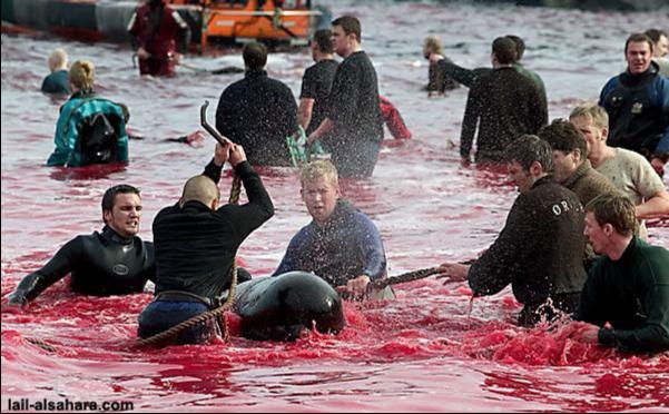 В Дании на Фарерских островах молодые подростки, в честь своей зрелости и крутости убивают