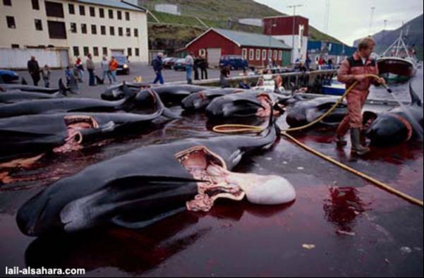 Ритуальное убийство дельфинов в Дании.