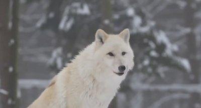Как волки меняют реки