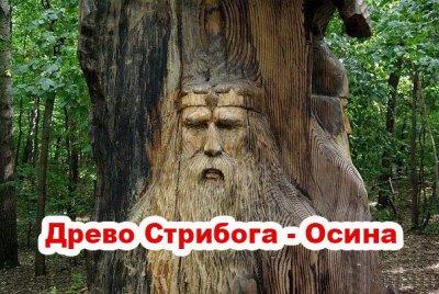 Священные деревья Славян: Древо Стрибога - Осина