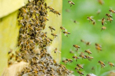 Пчелы вместо пестицидов