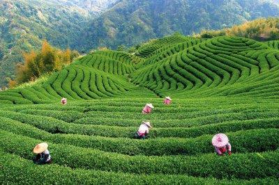 Китайский зеленый чай оригинального качества от «DAO.UA»